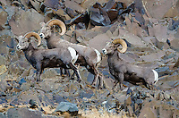 Bighorn Sheep (Ovis canadensis) rams on cliff walls near the John Day and Columbia Rivers in North Central Oregon.  October.  Note: These sheep were formerly classified as California bighorn (Ovis canadensis californiana).