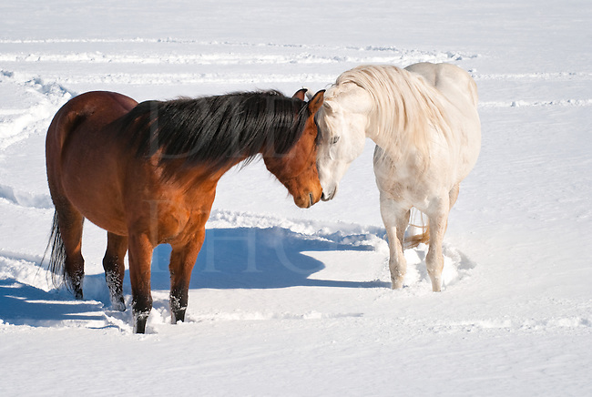 Picture of a stallion and a mare sharing breath in a mating and courting ritual, a horse kiss.