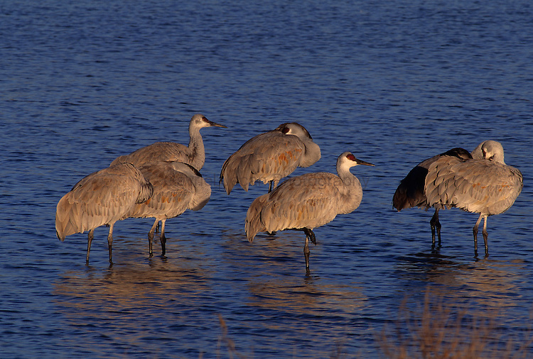 Sandhill Crane, (Grus canadensis),