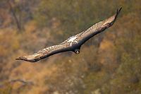 Black Eagle approaching head-on in flight.