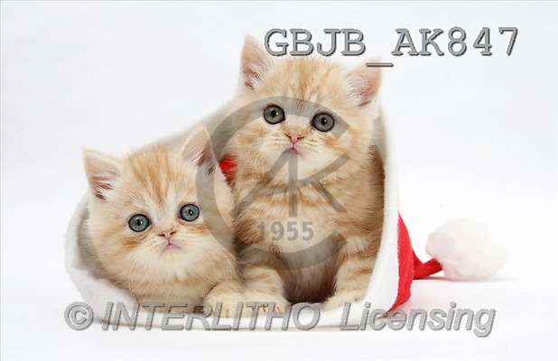 Kim, CHRISTMAS ANIMALS, photos, Ginger kittens, cats in a Father Christmas hat., 2 kittens, cats, santa hat(GBJBAK847,#XA#) stickers