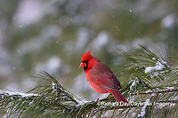 01530-23005 Northern Cardinal (Cardinalis cardinalis) male in pine tree in winter snow Marion Co. IL