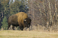 Plains Bison walking along the edge of a forest