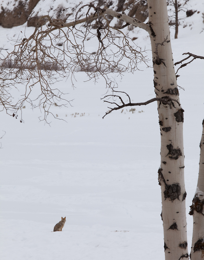 A sitting coyote stares off into the distance framed by a birch tree in the winter of Yellowstone National Park.