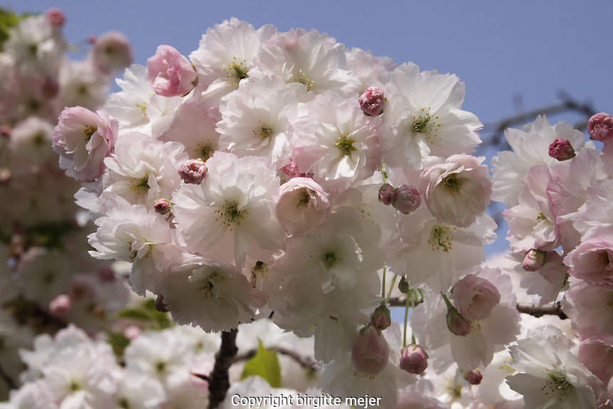 The Flowers on a Cherry Blossom Tree photographed up close against a blue spring sky