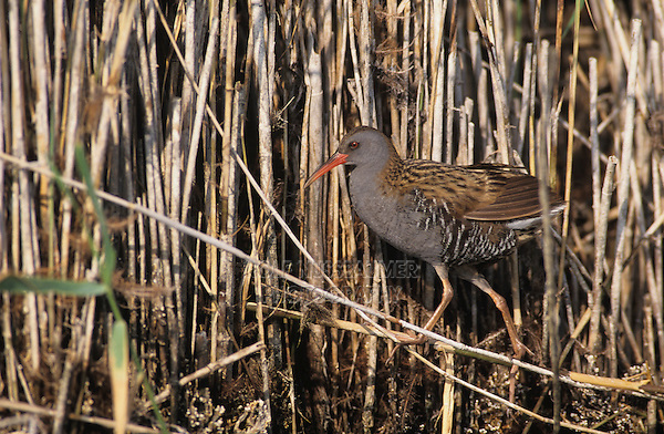 Water Rail, Rallus aquaticus, adult amonst common reed, Samos, Greek Island, Greece, Europe