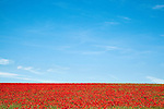 Poppy field, Papaver hoeas, near Barrasford, Northumberland, UK