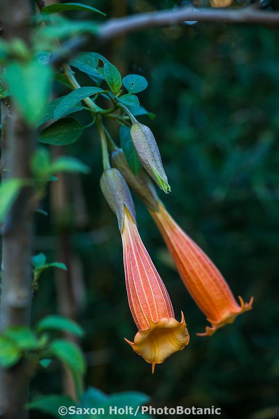 Brugmansia vulcanicola, Vulcan Angel's Trumpet flowering in San Francisco Botanical Garden