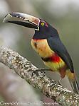 Collard aracari (Pteroglossus torquatus), Cayo district, Belize