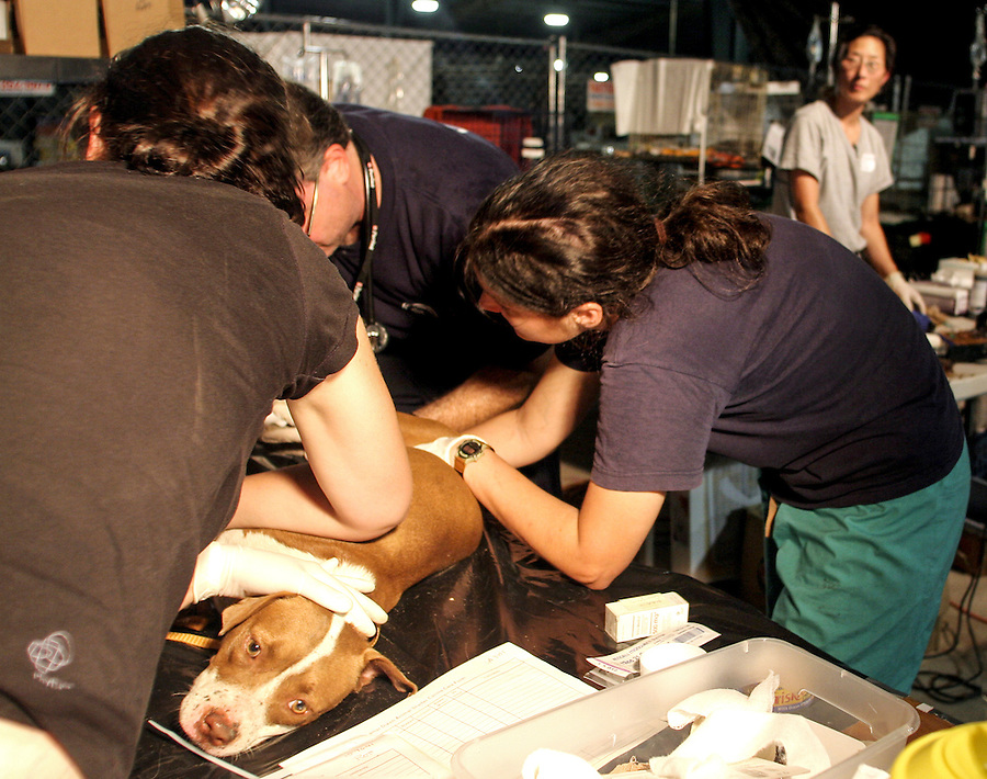 Veterinarians work by night in a makeshift Intensive Care Unit at the Lemar-Dixon Expo Center in Ganzales, LA, where the approximately 2,500 animals rescued from New Orleans after Hurricane Katrina are beeing cared for. 9/19/05 Julia Cumes