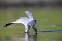 Silver Gull (Chroicocephalus novaehollandiae novaehollandiae) plunge diving into a pond to feed in Rymill Park in Adelaide, Australia.