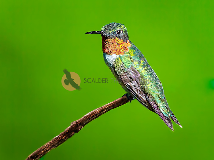 Male Ruby-Throated Hummingbird perched on a stick
