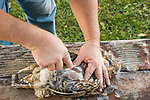 Man cleaning a ruffed grouse