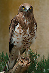 Short Toed Eagle, Circaetus gallicus, found throughout Southern Europe and Africa, captive.Europe....