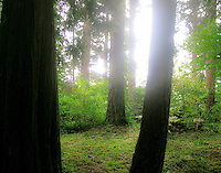 Sunlight back light through shade garden with tall fir trees; Beth's Oregon Garden