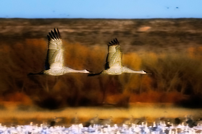 Two sandhill cranes flying over a lake in the Bosque del Apache National Wildlife Refuge in New Mexico