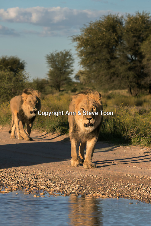 Lion (Panthera leo) males, Kgalagadi transfrontier park, Northern Cape, South Africa, February 2017
