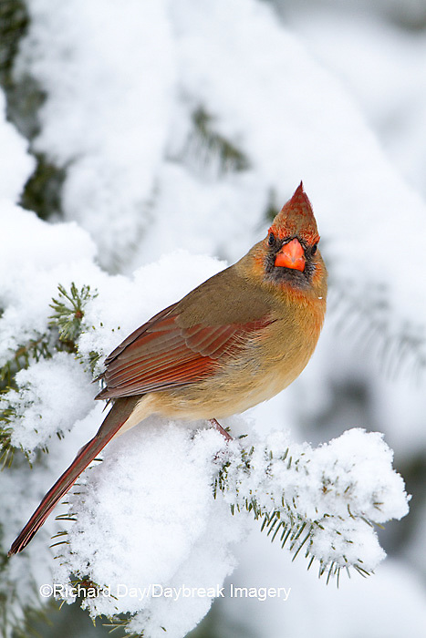 01530-20820 Northern Cardinal (Cardinalis cardinalis) female in spruce tree in winter, Marion Co., IL