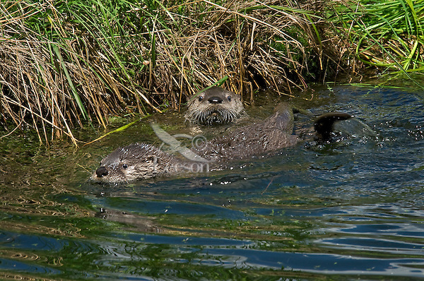 Northern River Otter (Lontra canadensis) pups work on their swimming skills.  Western U.S., summer..