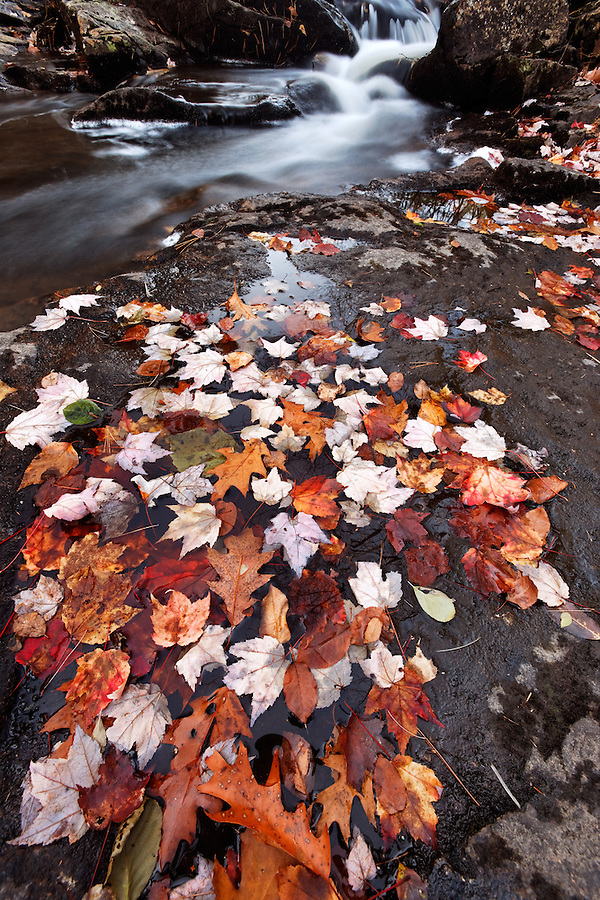 Colorful fallen autumn leaves resting on shore of Duck Brook, Mount Desert Island, Acadia National Park, Maine, USA