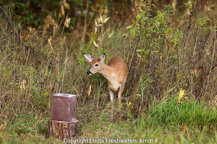 White-tailed fawn and a mineral block