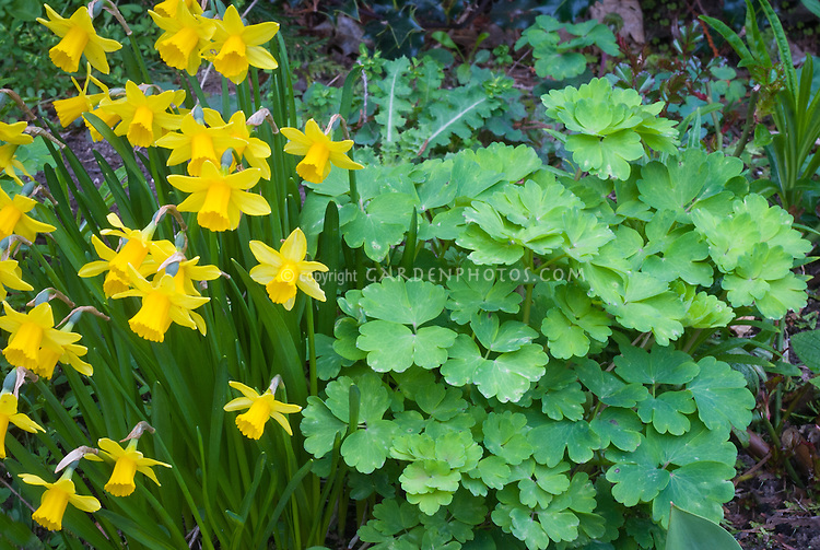Narcissus 'Tete a Tete' daffodils spring bulbs with, Aquilegia cv new young growth foliage in spring