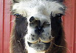"Photograph this animal while visiting a ranch in Delaware.  The animal literally let me get  ""in its face"" to get this shot. It is a  South American relative of the camel has been used by the peoples of the Andes Mountains for centuries."