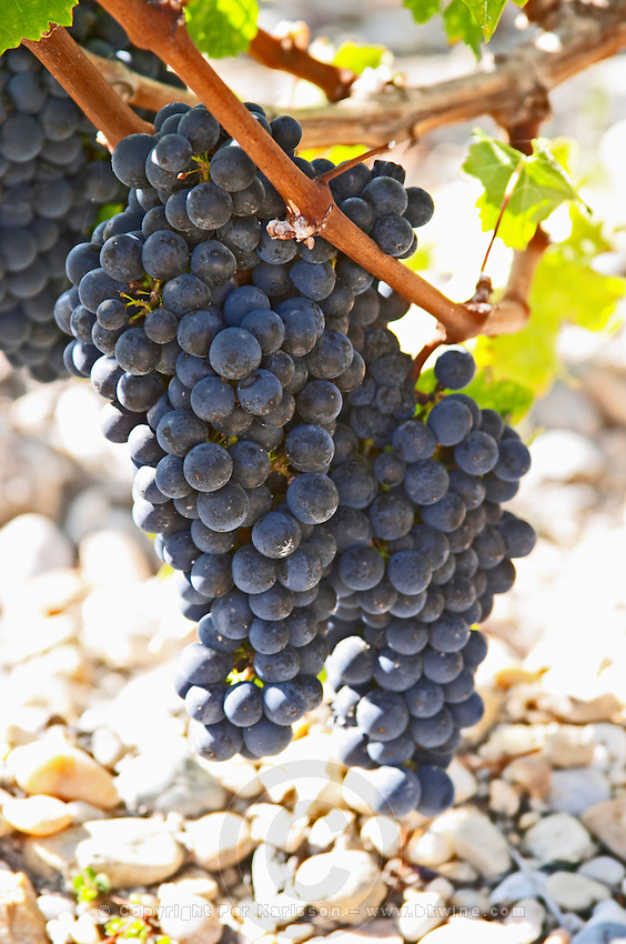Bunches of ripe grapes. Chateau Phelan-Segur, Saint Estephe, Medoc, Bordeaux, France