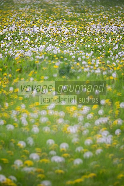 France, Calvados (14), Pays d' Auge, Bellou , champ fleuri  // France, Calvados, Pays d' Auge, Bellou , lowery meadow