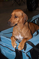 Rodhesian Ridgeback sitting in it's dog crate at the international dog show in Prague Europe in May 2014.<br /> <br /> The Rhodesian Ridgeback is a dog breed developed in Southern Africa. Its European forebears can be traced to the early pioneers of the Cape Colony of southern Africa, who crossed their dogs with the semi-domesticated, ridged hunting dogs of the Khoikhoi.<br /> <br /> In the earlier parts of its history, the Rhodesian Ridgeback has also been known as Van Rooyen's Lion Dog, the African Lion Hound or African Lion Dog&mdash;Simba Inja in Ndebele, Shumba Imbwa in Shona&mdash;because of its ability to keep a lion at bay while awaiting its master to make the kill.<br /> <br /> The original breed standard was drafted by F.R. Barnes, in Bulawayo, Southern Rhodesia (now Zimbabwe), in 1922. Based on that of the Dalmatian, the standard was approved by the South African Kennel Union in 1927.