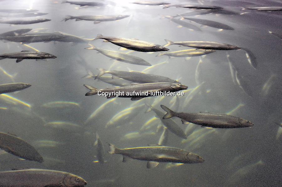 Maraenen: EUROPA, DEUTSCHLAND, MECKLENBURG- VORPOMMERN, (EUROPE, GERMANY), 30.01.2010: Europa, Deutschland, Mecklenburg, Vorpommern, Coregonus, albula, Zwergmaraene, Maraene, Maränen, Maraenen, Lachsverwandter, Forellenfische, Renken, Schwarmfisch, lebend, viele.  Seit dem Ende der Eiszeit ist sie in klaren nährstoffreichen Seen Europas heimisch, die Kleine Maraene. Im Bodenseegebiet ist sie als Felchen oder Renke bekannt. Die Fische gehoeren zur Familie der Lachsartigen, besitzen ein aeusserst wohlschmeckendes, feines weisses Fleisch und sind reich an Omega  3  Fettsaeuren. Sie erreicht eine Groesse von etwa 25 cm und ein Gewicht von 200 gr. Die in den Sommermonaten gefangenen Kleinen Maraenen gelten nicht nur bei Kennern als besondere Delikatesse. Besonders frisch geraeuchert oder gebraten ist sie eine ausgesprochene Fischspezialitaet. In der Region der Mecklenburgischen Seenplatte hat ihr Fang eine lange Tradition. Die Fischer sorgen mit spezialisierten, streng nachhaltig ausgerichteten Fangmethoden für ein Angebot, das in seiner Frische und Qualitaet einmalig ist. Als regionale Spezialitaet sollte die Kleine Maraene daher auf keiner Speisekarte fehlen!...c o p y r i g h t : A U F W I N D - L U F T B I L D E R . de.G e r t r u d - B a e u m e r - S t i e g 1 0 2, .2 1 0 3 5 H a m b u r g , G e r m a n y.P h o n e + 4 9 (0) 1 7 1 - 6 8 6 6 0 6 9 .E m a i l H w e i 1 @ a o l . c o m.w w w . a u f w i n d - l u f t b i l d e r . d e.K o n t o : P o s t b a n k H a m b u r g .B l z : 2 0 0 1 0 0 2 0 .K o n t o : 5 8 3 6 5 7 2 0 9.V e r o e f f e n t l i c h u n g  n u r  m i t  H o n o r a r  n a c h M F M, N a m e n s n e n n u n g  u n d B e l e g e x e m p l a r !.