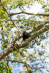 Howler Monkeys in the trees in Costa Rica near Monteverde