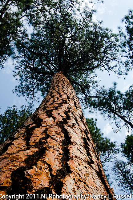 The Ponderosa Pine tree has a very thick bark to protect it from wildfires.