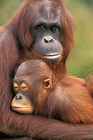 Orangutan (Pongo pygmaeus) mother with baby