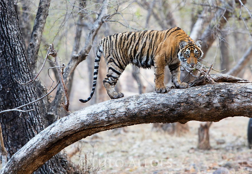 India, Rajasthan, Ranthambhore National Park, Bengal tiger cub climbing in tree