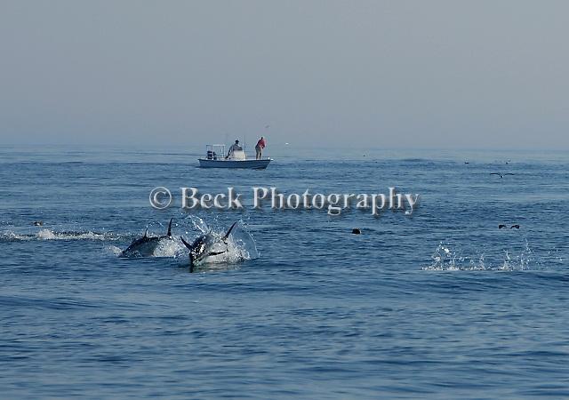 Chasing Tuna in Maine
