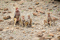 hamadryas baboon, Papio hamadryas, adult female, with infants, native to the Horn of Africa and the southwestern tip of the Arabian Peninsula, Djibouti, Horn of Africa