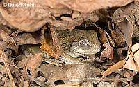 1025-0904  Torpid Eastern Gray Treefrog (Grey Tree Frog), Hibernating Under Leaf Litter on Forest Floor, Hyla versicolor  © David Kuhn/Dwight Kuhn Photography
