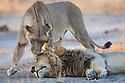 Botswana, Okavango Delta, Moremi; lion mating pair, female approaching male