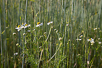 Roggen mit Kamille im Feld, , Saat-Roggen, Roggenanbau, Roggenfeld, Acker, Secale cereale, Rye. Hamfelder Hof, Schleswig-Holstein