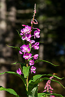 Fireweed Onagraceae is a native plant that's found in the northern hemisphere that got its name because this plant is the first colonizer in the soil after forest fires have died down. The plant is a member of the Evening Primrose family. Young shoots are collected in the spring by Native American Indians the stems are peeled and eaten raw.  In Russia, the leaves were boiled as a kind of tea.