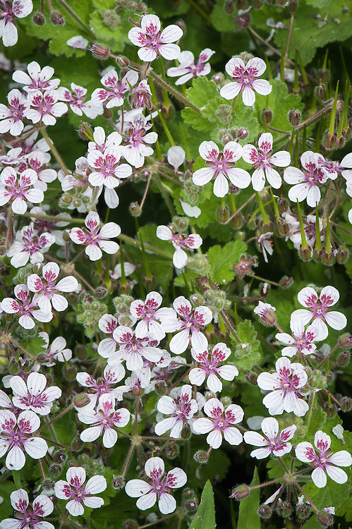 Erodium pelargoniflorum, late May. A half-hardy perennial with clustered rosettes of violet-veined, pink-spotted white flowers.