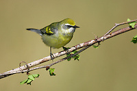 Blue-winged x Golden-winged Warbler Hybrid - Vermivora cyanoptera x chrysoptera