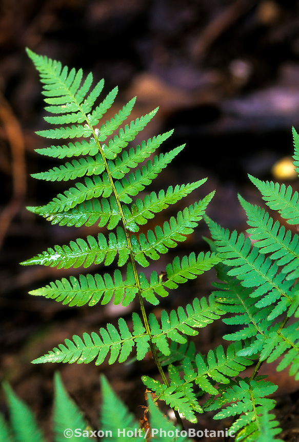 Dryopteris arguta (California Wood Fern) foliage leaf detail