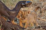 Lion cubs, Okavango Delta, Botswana