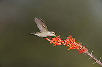 Black-chinned Hummingbird (Archilochus alexandri), female feeding on Ocotillo (Fouquieria splendens), Chisos Basin, Chisos Mountains, Big Bend National Park, Chihuahuan Desert, West Texas, USA