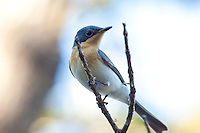 Satin Flycatcher female, 1770 ocean trail, Queensland, Australia