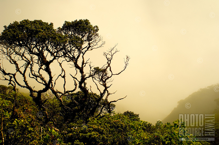 Rare Trees, Ferns & Plants Enveloped In Clouds In The West Maui watershed, West Maui Mountains