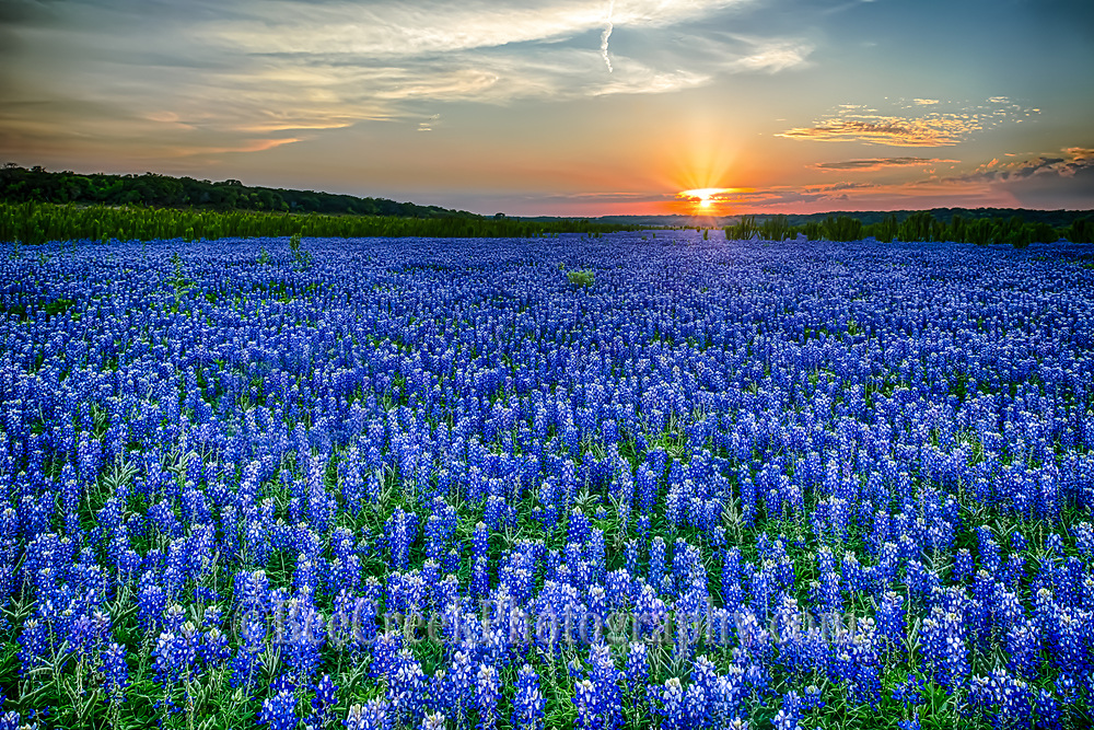 This image of what seems to be endless field of bluebonnets was in the Texas Hill Country along the Colorado river. As the sunset it created this wonderful orange and pink colors in the sky with this heavenly glow over this field of Texas bluebonnet wildflowers   All you can see is a landscape of a field of bluebonnets wildflowers with some saltgrass growing along the bountries in Muleshoe Park. How this happen we are not sure but the area had been under drought condition this year and the water dropped leaving this area exposed again and the seeds somehow were on the bottom of the lake area and this is what happen so some good can come out of a drought.