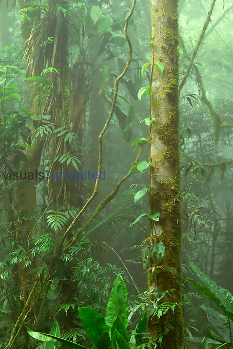 Lush cloud forest interior near Juan Castro Blanco National Park, Costa Rica